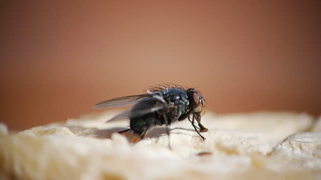 Fly standing on a Piece of Cheese, Normandy, Real Time 4K video
