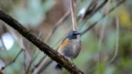 Flycatcher bird, male Snowy-browed Flycatcher (Ficedula hyperythra) , standing video