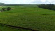 AERIAL: Flying above and distancing from beautiful big green sugarcane field video