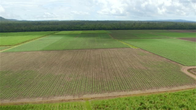 AERIAL: Flying above and distancing from rows of young sugarcane on big field video