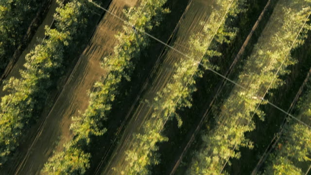 AERIAL Flying Above Apple Orchard video