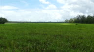 AERIAL: Flying above beautiful dense endless field of green sugar cane video