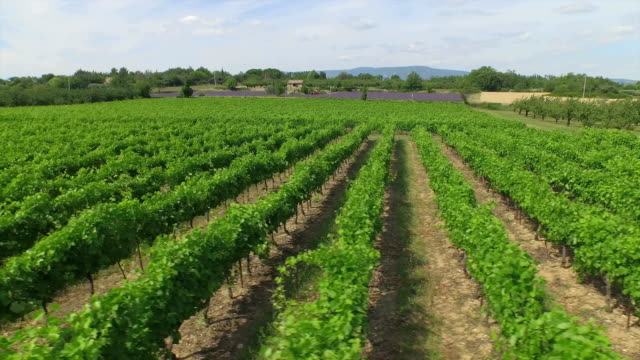 AERIAL: Flying above beautiful green rows of a vineyard video