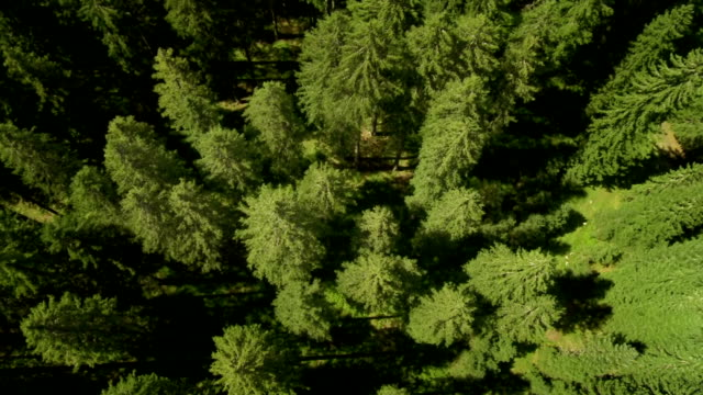 HD: Flying Above Conifers Treetops video