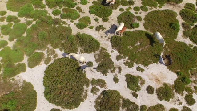 AERIAL: Flying above wild horses pasturing in the wilderness video