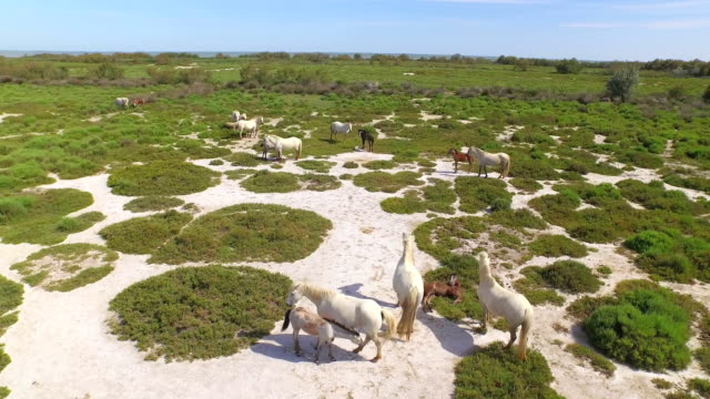 AERIAL: Flying around wild horses in nature video