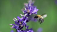 SLOW MOTION: Flying Bee video