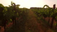 AERIAL: Flying between the lines in the endless vineyard in beautiful sunny summer video