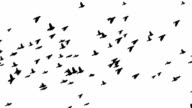 Flying birds video