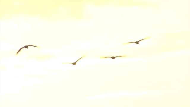 Flying cormorants through amazing sunset background video