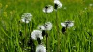 Flying dandelion seeds in meadow video