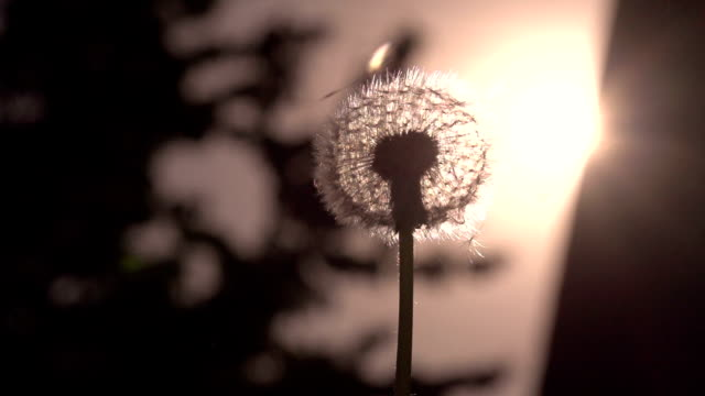 Flying Dandelion Umbrellas video