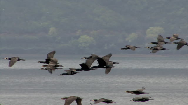 Flying flock of cormorants, water background video