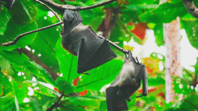 Flying foxes hanging on a tree branch and washing up video
