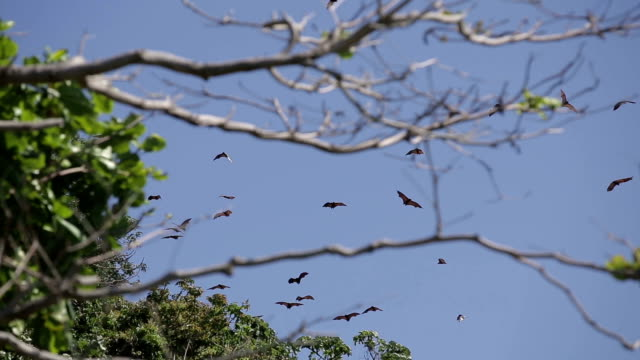 flying foxes on sland of Boracay video