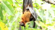 Flying Foxes on tree. video