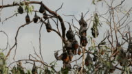 Flying Foxes video