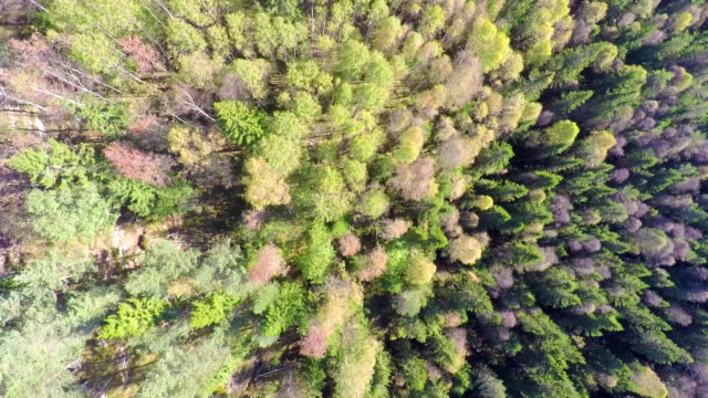 Flying high above large spruce tree forest with camera panning video