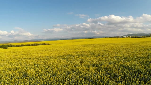 flying low over rapeseed field video