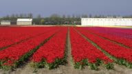 AERIAL: Flying next to lovely red blossoming tulips near farm business premises video