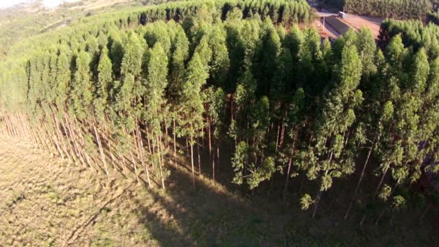 Flying over eucalyptus plantation video