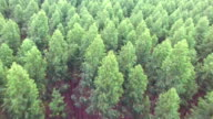Flying over pine trees video