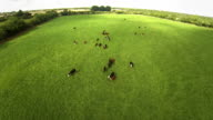 Flying over the cows video