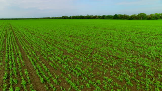 Flying over the field of green peas video