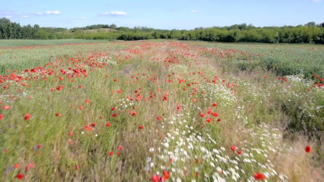 flying over the green field with red red Poppy flowers video