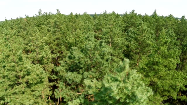 Flying over the pine forest video