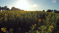 Flying Over The Tops Of Sunflowers video