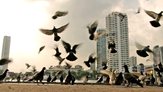 Flying Pigeon video