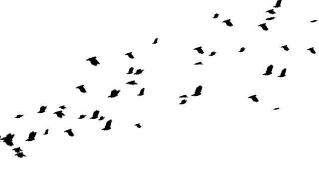 Flying pigeons video