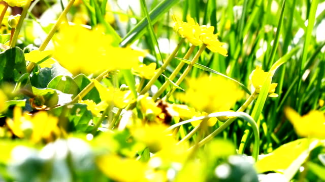 Flying worker bee collects nectar from field of yellow flowers. video
