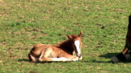 HD: Foal and his mother video