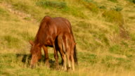 Foal feeds from brown mare on pasture video