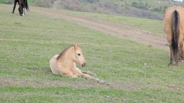 foal resting on the meadow video