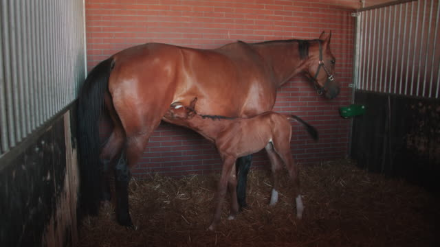 Foal suckling from its mother video