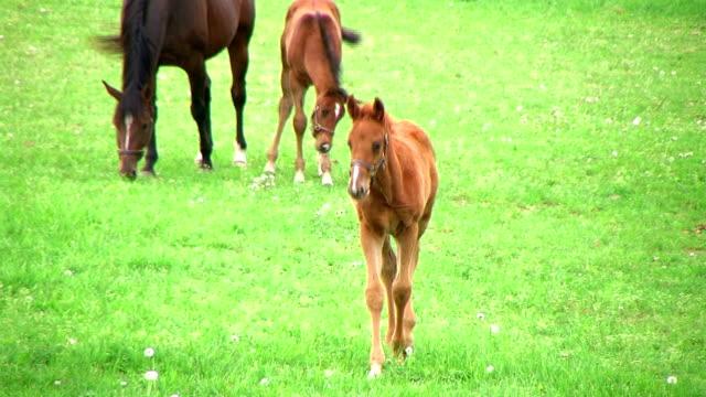 Foal Walking In Pasture video