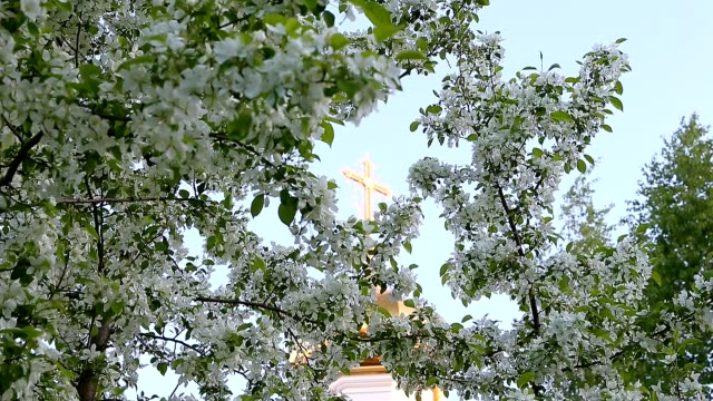 Focus movement from golden cross of church dome to white flowers of blossom apple-tree branches. Green garden and worship place in city garden. View cross branches with green leaves and white flowers video