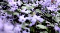 focus : purple flower video