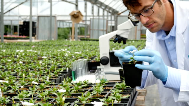 Focused Caucasian male botanist inspects plant in greenhouse video
