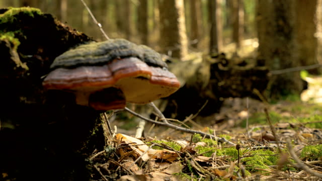 Focusing to the mushroom in the forest video