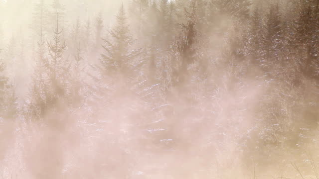 Fog crawls through the pine trees forest early in the morning video