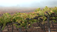 Fog on Napa Vineyard video