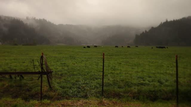 foggy farm cattle open range video
