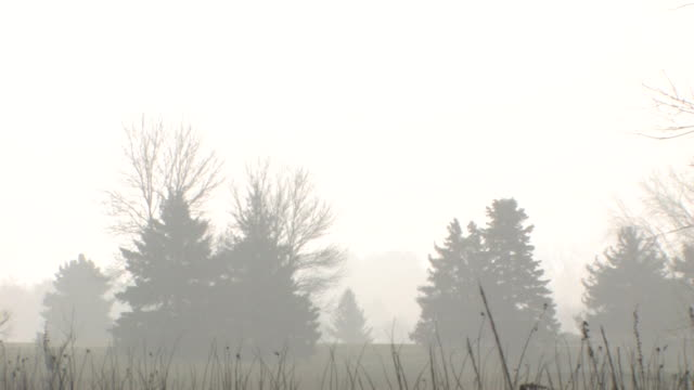 Foggy Pines HD video