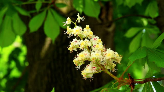Foliage and flower of chestnut tree video