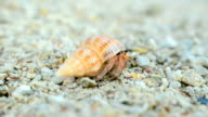 follow: colorful and big Hermit crab try to walk video