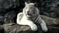 Following stare of a young white bengal tiger, lying on the rock. video